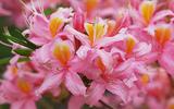Les fameuses 8 fleurs du Yunnan: L'Azalée