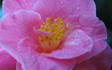 Les fameuses 8 fleurs du Yunnan: Le Camélia