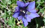 Les fameuses 8 fleurs du Yunnan: La Gentiane