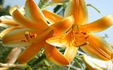 Les fameuses 8 fleurs du Yunnan: Le Lys