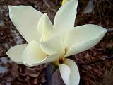 Les fameuses 8 fleurs du Yunnan: Le Magnolia