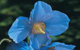 Les fameuses 8 fleurs du Yunnan: Pavot bleu