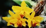 Les fameuses 8 fleurs du Yunnan: L'Orchidée