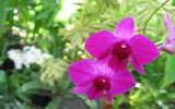 Les fameuses 8 fleurs du Yunnan: La Primevère