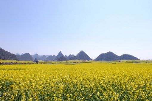 luoping-Yunnan-champs